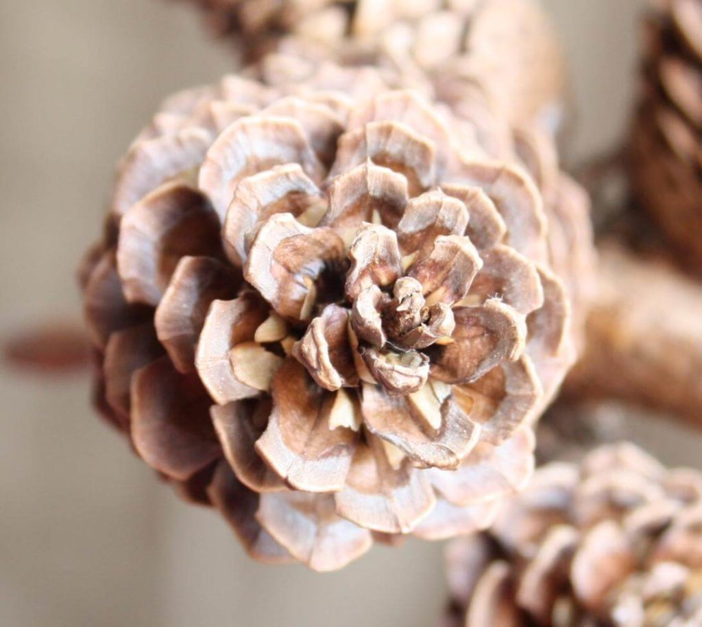 white colored pinecone firestarter as diy gifts for parents
