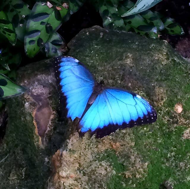 A brilliant Blue Morpho butterfly rests on a rock in Gainesville.