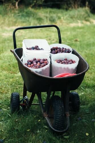 berries, fruit, fruit picking