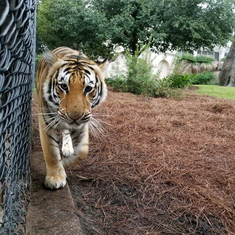 mike the tiger Baton Rouge