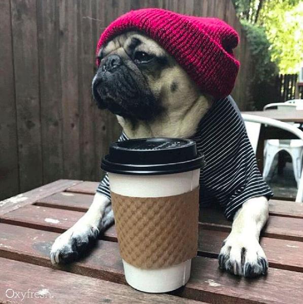 social media pug with latte