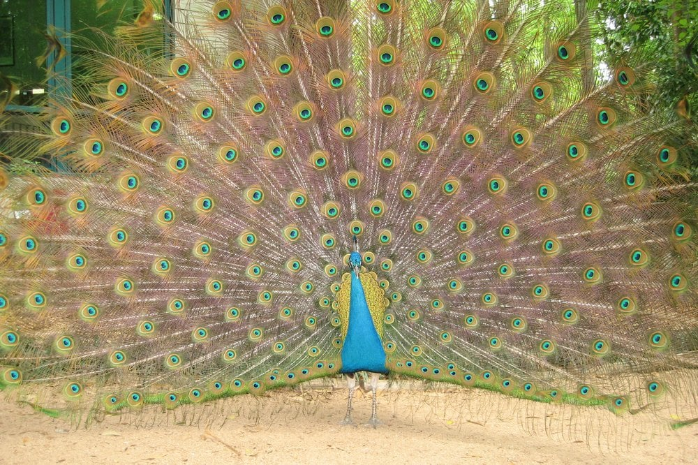 zoo peacock 21 things to do under 21 in gainesville