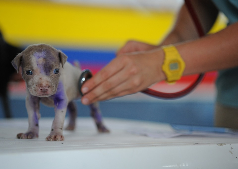how to become a veterinarian puppy at vet