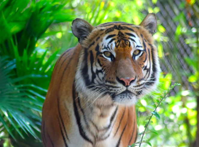 tiger zoo things to do in palm beach