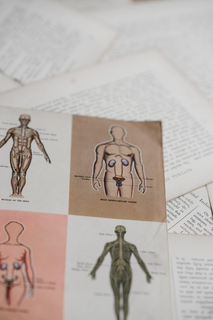 human anatomy drawings medical majors