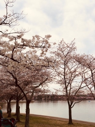 things to do during cherry blossom season
