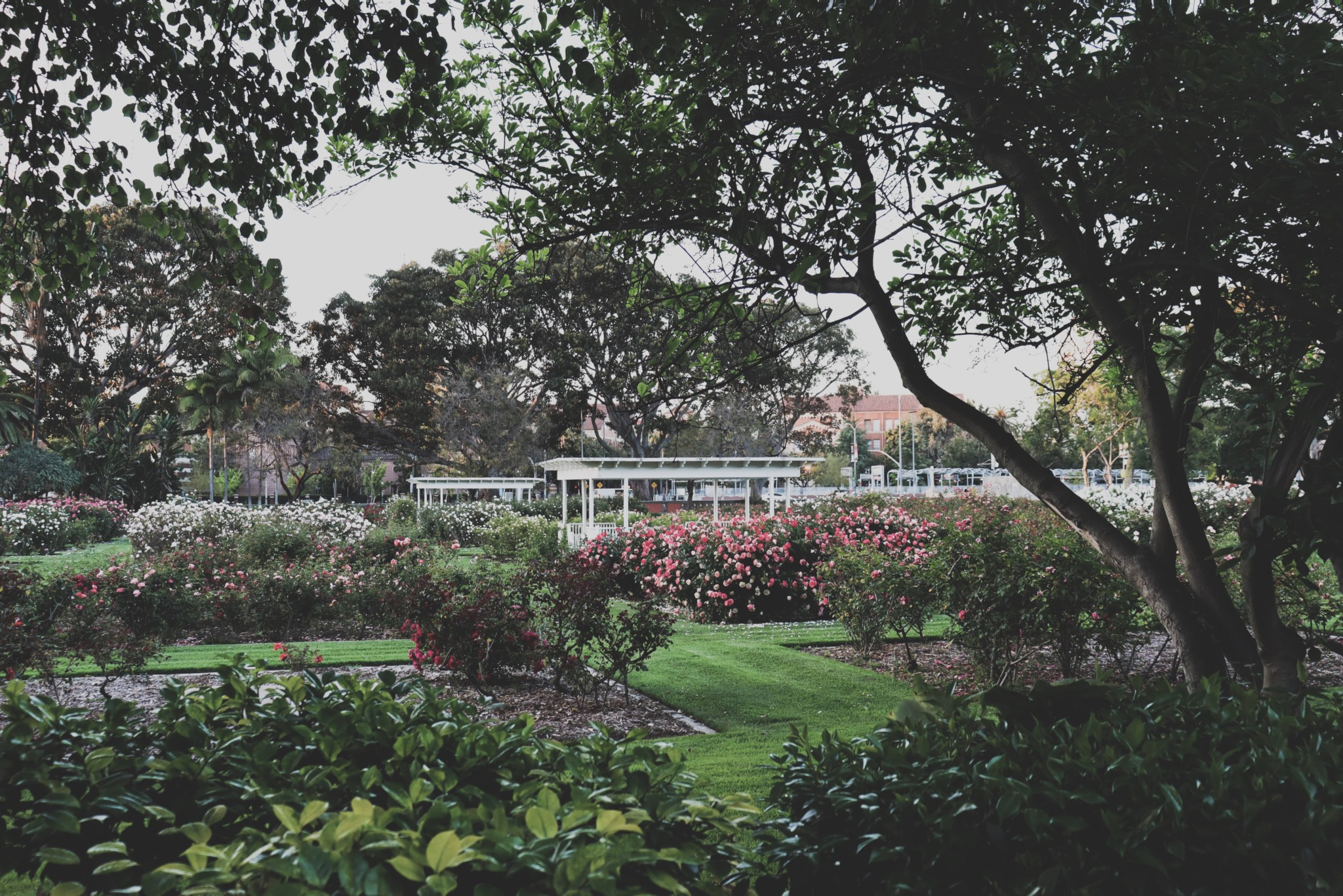 photo of the exposition park rose garden in LA