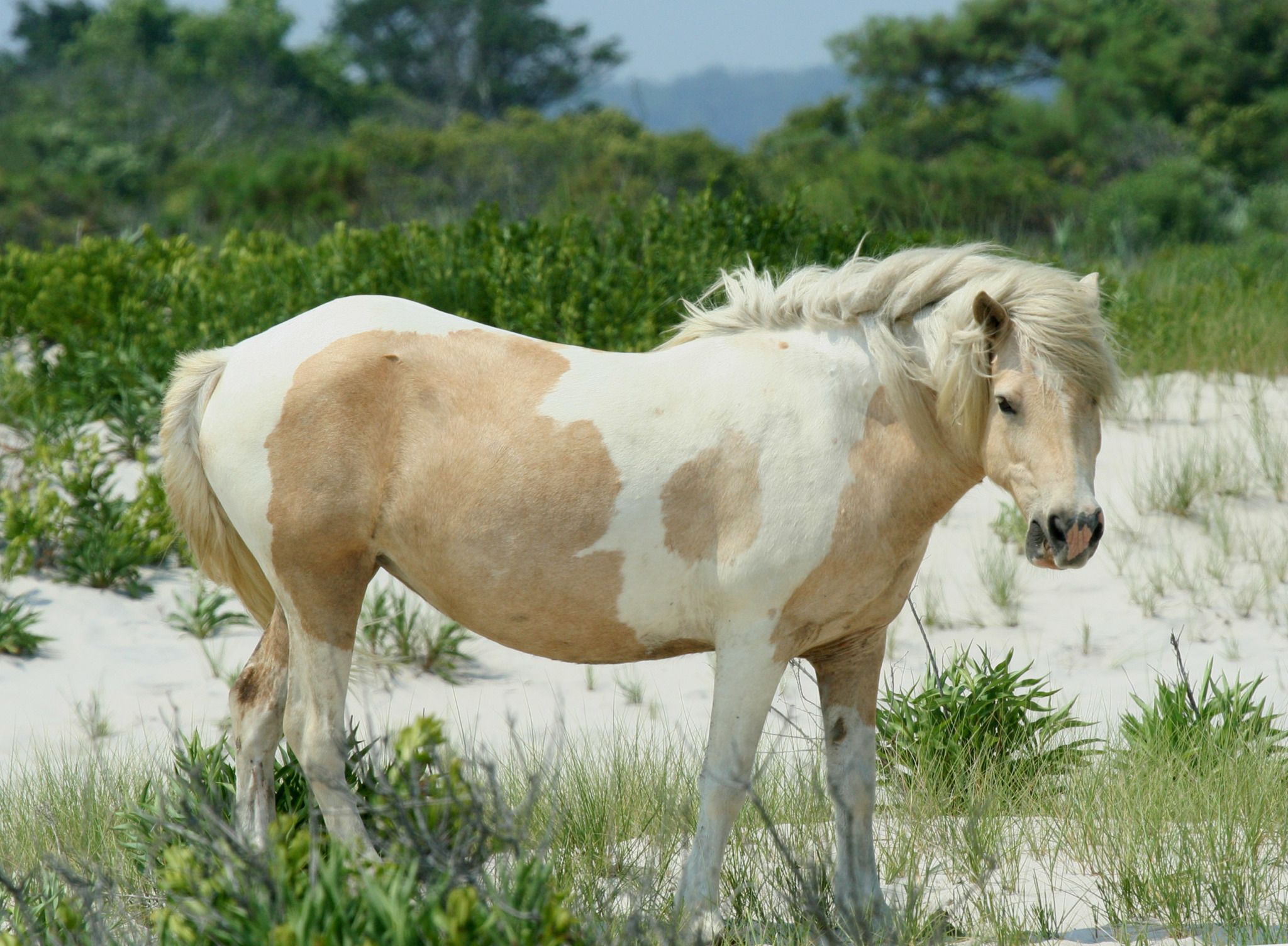 Wild white and brown spotted horse on Assateague island