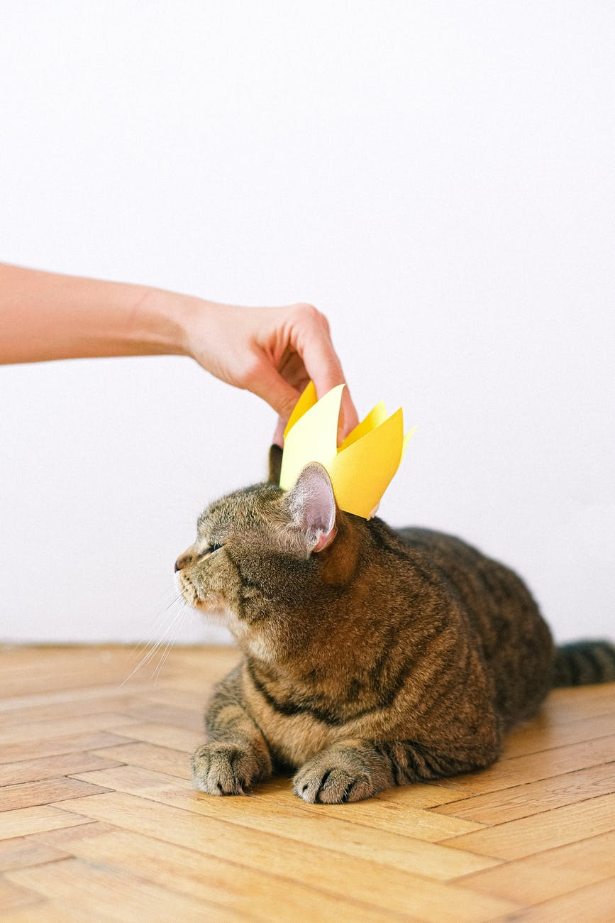 Hand putting a crown on a cat animal